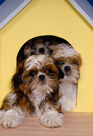 DOG 19 RK0091 25 © Kimball Stock A Group Of Shih-Tzu Dogs Laying Together By Dog House