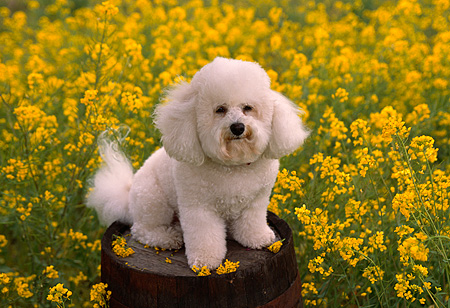 DOG 19 RK0101 04 © Kimball Stock Bichon Frise Sitting On Barrel In Yellow Flower Field