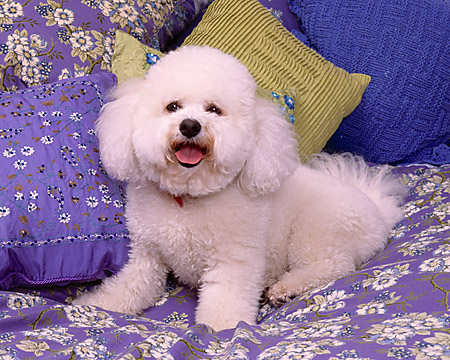 DOG 19 RK0115 02 © Kimball Stock Bichon Frise Laying On Bed