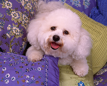 DOG 19 RK0120 08 © Kimball Stock Head Shot Of Bichon Frise Laying