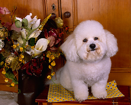DOG 19 RK0121 01 © Kimball Stock Bichon Frise Sitting On Wooden Table