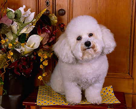 DOG 19 RK0121 07 © Kimball Stock Bichon Frise Sitting On Wooden Table