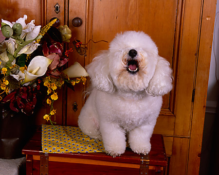 DOG 19 RK0121 17 © Kimball Stock Bichon Frise Sitting On Wooden Table