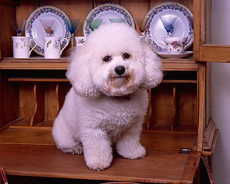 DOG 19 RK0122 08 © Kimball Stock Bichon Frise Sitting On Wooden China Cabinet