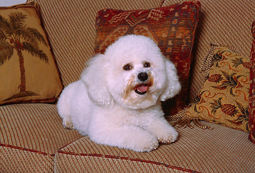 DOG 19 RK0127 04 © Kimball Stock Bichon Frise Laying On Tan Couch With Pillows