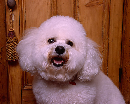 DOG 19 RK0132 04 © Kimball Stock Head Shot Of Bichon Frise Against Wooden Dresser