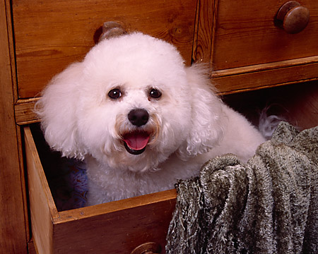 DOG 19 RK0133 01 © Kimball Stock Head Shot Of Bichon Frise Sitting In Dresser Drawer