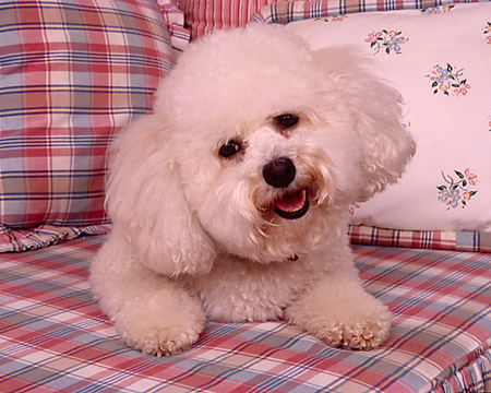 DOG 19 RK0135 04 © Kimball Stock Bichon Frise Laying On Plaid Cushion By Pillows