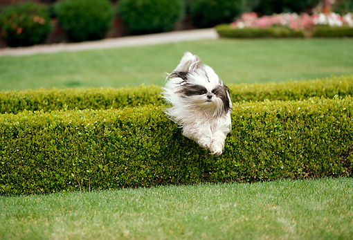 DOG 19 RK0138 04 © Kimball Stock Lhasa Apso Jumping Over Bush