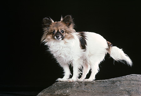 DOG 19 RK0144 12 © Kimball Stock Papillon Standing On Rock Black Background