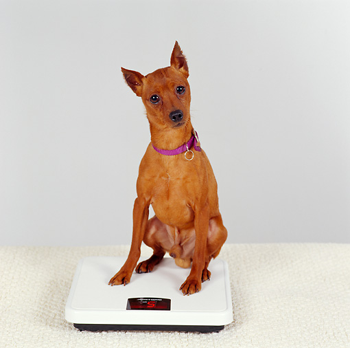 DOG 19 RS0042 01 © Kimball Stock Miniature Pinscher Sitting On Scale