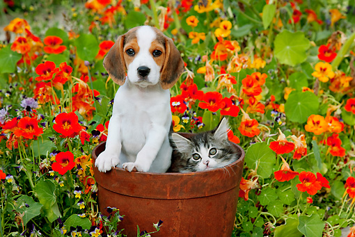 DOK 01 BK0004 01 © Kimball Stock Beagle Puppy And Tabby Kitten Sitting In Flower Pot In Garden