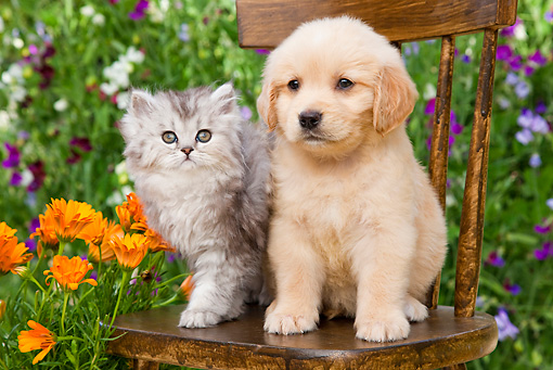 DOK 01 BK0007 01 © Kimball Stock Golden Retriever Puppy And Silver Tabby Kitten Sitting On Chair In Garden