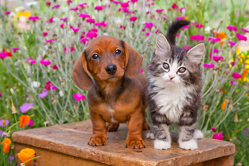 DOK 01 BK0008 01 © Kimball Stock Dachshund Puppy And Tabby Kitten Standing On Bench In Garden