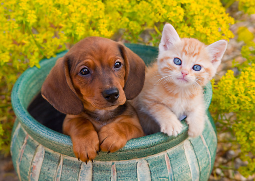 DOK 01 BK0009 01 © Kimball Stock Dachshund Puppy And Tabby Kitten Sitting In Flower Pot In Garden