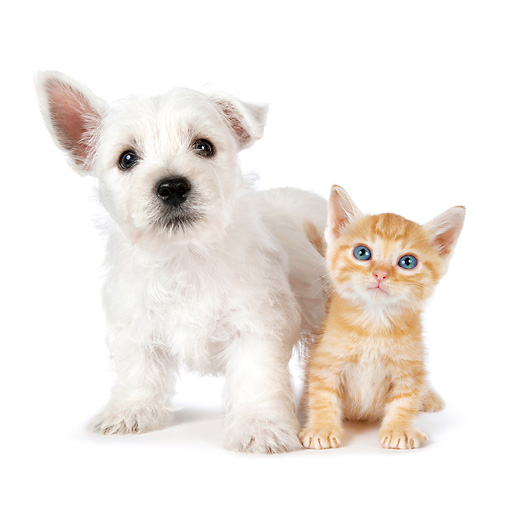 DOK 01 BK0017 01 © Kimball Stock West Highland Terrier Puppy And Orange Tabby Kitten On White Seamless