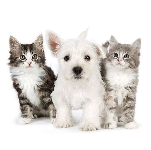DOK 01 BK0018 01 © Kimball Stock West Highland Terrier Puppy And Tabby Kittens On White Seamless