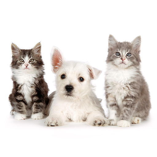 DOK 01 BK0019 01 © Kimball Stock West Highland Terrier Puppy And Tabby Kittens On White Seamless