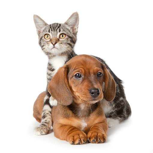 DOK 01 BK0025 01 © Kimball Stock Dachshund Puppy And Tabby Kitten On White Seamless
