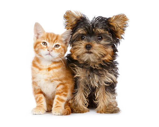 DOK 01 BK0026 01 © Kimball Stock Orange Kitten And Yorkshire Terrier Puppy Sitting On White Seamless