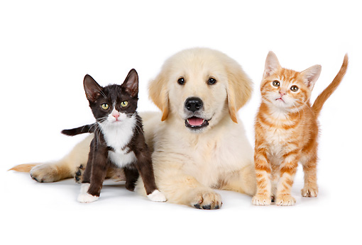 DOK 01 BK0030 01 © Kimball Stock Golden Retriever Puppy And Two Kittens On White Seamless