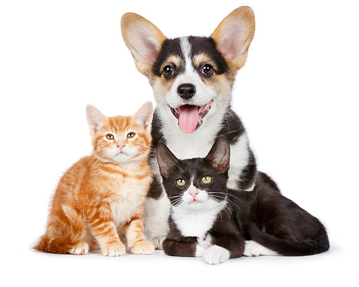 DOK 01 BK0037 01 © Kimball Stock Welsh Corgi Puppy And Two Kittens On White Seamless