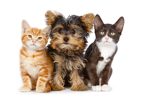 DOK 01 BK0039 01 © Kimball Stock Yorkshire Terrier Puppy And Two Kittens On White Seamless