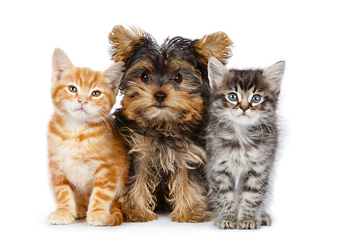 DOK 01 BK0040 01 © Kimball Stock Yorkshire Terrier Puppy And Two Kittens Sitting On White Seamless
