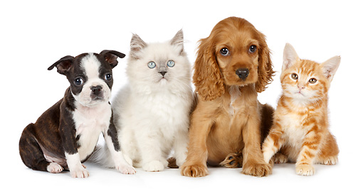 DOK 01 BK0054 01 © Kimball Stock Boston Terrier Puppy, Cocker Spaniel Puppy And Two Kittens Sitting On White Seamless