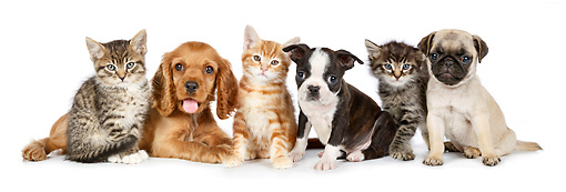 DOK 01 BK0058 01 © Kimball Stock Cocker Spaniel Puppy, Boston Terrier Puppy, Pug Puppy And Three Kittens On White Seamless