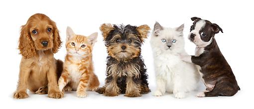 DOK 01 BK0059 01 © Kimball Stock Cocker Spaniel Puppy, Yorkshire Terrier Puppy, Boston Terrier Puppy And Two Kittens Sitting On White Seamless