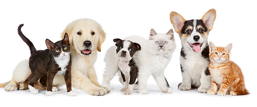 DOK 01 BK0061 01 © Kimball Stock Golden Retriever Puppy, Boston Terrier Puppy, Welsh Corgi Puppy And Three Kittens On White Seamless