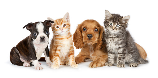 DOK 01 BK0063 01 © Kimball Stock Boston Terrier Puppy, Cocker Spaniel Puppy And Two Kittens On White Seamless