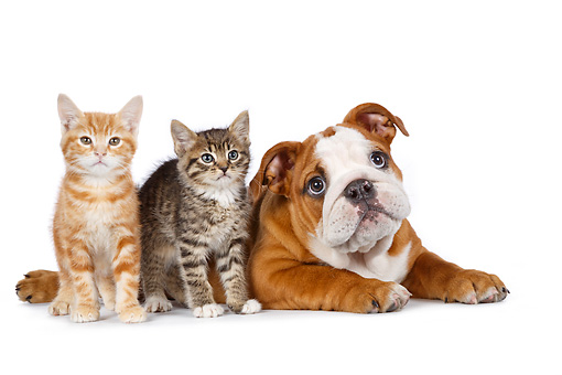 DOK 01 BK0075 01 © Kimball Stock English Bulldog Puppy And Two Kittens On White Seamless