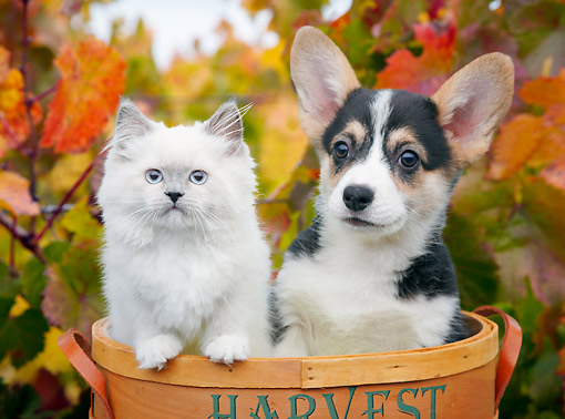 DOK 01 BK0086 01 © Kimball Stock Longhair Kitten And Welsh Corgi Puppy Sitting In Basket By Autumn Leaves
