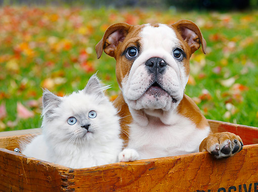 DOK 01 BK0088 01 © Kimball Stock Longhair Kitten And English Bulldog Puppy Sitting In Crate By Autumn Leaves