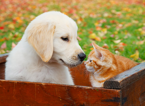 DOK 01 BK0093 01 © Kimball Stock Yellow Labrador Retriever Puppy And Orange Kitten Sitting In Red Crate By Autumn Leaves