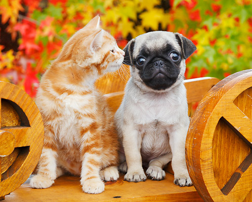DOK 01 BK0099 01 © Kimball Stock Orange Kitten And Pug Puppy Sitting On Wagon By Autumn Leaves