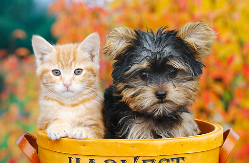 DOK 01 BK0104 01 © Kimball Stock Orange Kitten And Yorkshire Terrier Puppy Sitting In Basket By Autumn Leaves