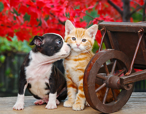 DOK 01 BK0106 01 © Kimball Stock Boston Terrier Puppy And Orange Kitten Sitting By Wheelbarrow And Autumn Leaves