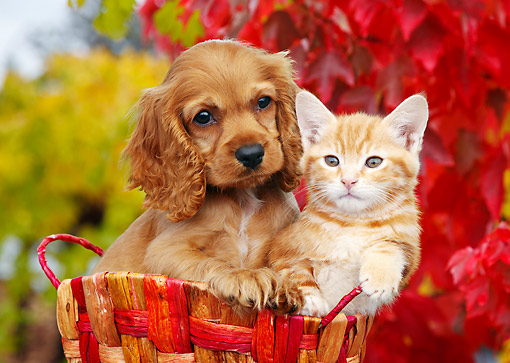 DOK 01 BK0110 01 © Kimball Stock Cocker Spaniel Puppy And Orange Kitten Sitting In Basket By Autumn Leaves