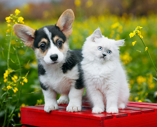 DOK 01 BK0118 01 © Kimball Stock Welsh Corgi Puppy And White Kitten On Bench By Spring Flowers