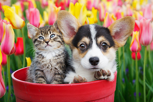 DOK 01 BK0123 01 © Kimball Stock Tabby Kitten And Welsh Corgi Puppy Sitting In Flower Pot By Tulips