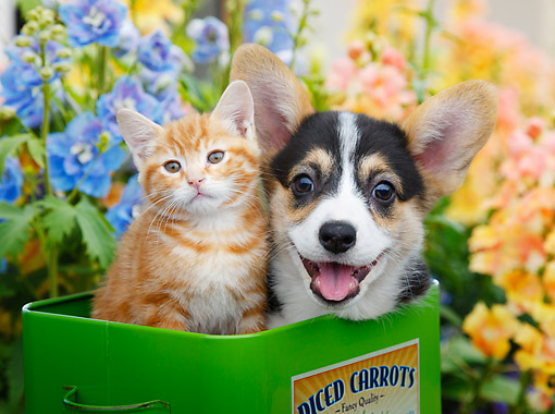 DOK 01 BK0124 01 © Kimball Stock Orange Kitten And Welsh Corgi Puppy Sitting In Tin Box In Garden