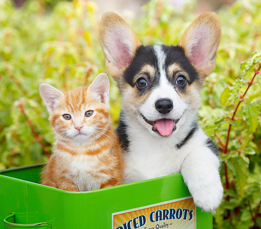 DOK 01 BK0125 01 © Kimball Stock Orange Kitten And Welsh Corgi Puppy Sitting In Tin Box In Garden