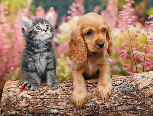 DOK 01 BK0133 01 © Kimball Stock Tabby Kitten And Cocker Spaniel Puppy On Log By Spring Flowers
