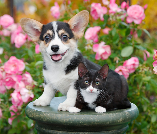 DOK 01 BK0135 01 © Kimball Stock Welsh Corgi Puppy And Tuxedo Kitten On Pedestal In Garden
