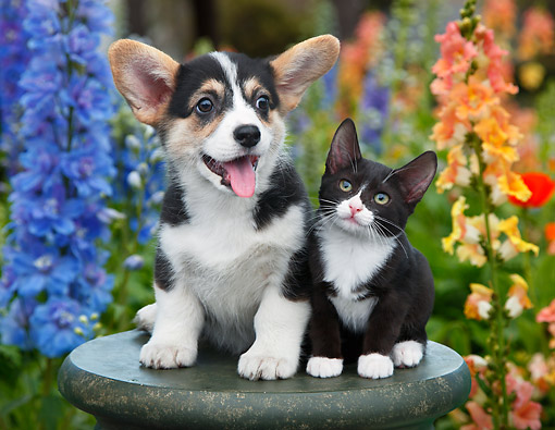 DOK 01 BK0136 01 © Kimball Stock Welsh Corgi Puppy And Tuxedo Kitten On Pedestal In Garden