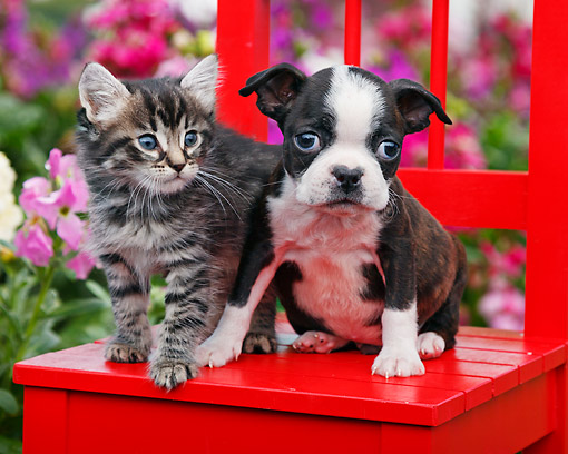 DOK 01 BK0143 01 © Kimball Stock Tabby Kitten And Boston Terrier Puppy Sitting On Red Chair In Garden