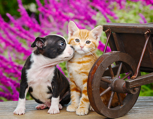 DOK 01 BK0145 01 © Kimball Stock Boston Terrier Puppy And Orange Kitten Sitting By Wheelbarrow And Pink Flowers